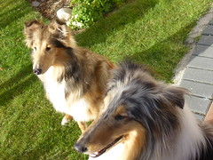 Jasmine and Benji (Mara 1) Tags: dogs pets animals rough collies blackwhitefawn coats fur eyes ears grass green outdoorss