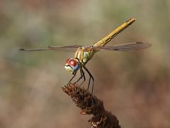 Red-veined Darter (chaz jackson) Tags: redveineddarter sympetrumfonscolombii darter dragonfly odonata insect macro macedonia