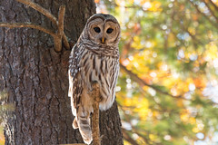 Barred Owl in Autumn (NicoleW0000) Tags: barred owl wildlife nature photography bokeh