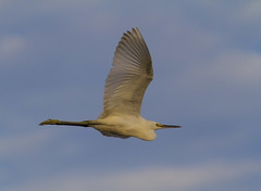 Snowy Egret (AllHarts) Tags: snowyegret gulfofmexico mississippigulf us90 baystlouisms naturesspirit thesunshinegroup naturescarousel ngc