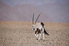 Alone... (anacm.silva) Tags: oryx mammal mamfero wild wildlife nature africa namibia namibdesert desertodonamibe deserto desert natureza naturaleza frica nambia namibnaukluftnationalpark namib