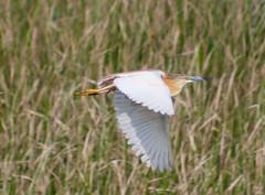Squarro Heron - Lake Skadar - 20160610 (mwiddo) Tags: monenegro birds squarro heron lake skadar