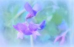 Rainy Day Wildflower (JLS Photography - Alaska) Tags: wildflowers wildflower rain art artwork artistic digitalart digitalmanipulation jlsphotographyalaska flower plant pastel painterly