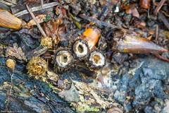 Fluted Bird's Nest (Cyathus striatus) (BiteYourBum.Com Photography) Tags: dawnandjim dawnjim biteyourbum biteyourbumcom copyright2016biteyourbumcom copyrightbiteyourbumcom allrightsreserved uk unitedkingdom gb greatbritain england westsussex canoneos7d canonefs60mmf28macrousm sigma50500mmf4563dgoshsm canonef1740mmf4lusm apple imac5k lightroom5 ipadair appleipadair camranger lrenfuse focusstacking manfrotto055cxpro3tripod manfrotto804rc2pantilthead loweproprorunner350aw angmeringpark angmering angmeringparkestate angmeringestate wephamwood wepham fungi fungus mushroom mushrooms southdownsnationalpark southdowns