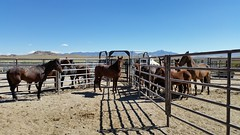 The 2016 Stone Cabin Wild Horse Gather is ongoing - Check out the work being done! (BLM Nevada) Tags: wildhorses adoption blm nevada battlemountain