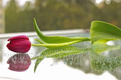 Tulip (carolinalbessa) Tags: tulipa tulip flower flor leaves folhas cores colours red green vermelho verde nature rain chuva sopaulo brazil br