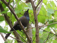 Grackle in the trees (JJP in CRW) Tags: iowa leclaire birds