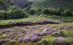Green and purple (Keartona) Tags: crowden summer colours green purple hills heather landscape derbyshire longdendale england woodhead