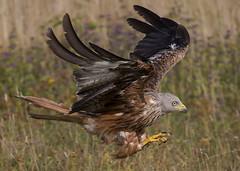 Red Kite (Steve Ashton Wildlife Images) Tags: red kite redkite chilterns chilternredkite raptor bird prey