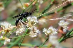 Wasp on Eriogonum (TJ Gehling) Tags: insect hymenoptera wasp sphecidae plant flower caryophyllales polygonaceae nativebuckwheat buckwheat eriogonum eriogonumfasciculatum canyontrailpark elcerrito
