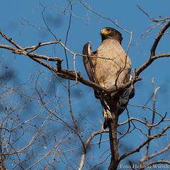 0444 Schlangenweihe ssp. cheela - Crested Serpent-eagle (uwizisk) Tags: crestedserpenteagle india indien ranthambhorenationalpark schlangenweihe spilornischeelacheela