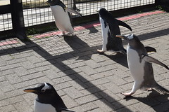 Penguin Parade! 266/366 (Bebopgirl1969) Tags: penguin penguinparade edinburghzoo