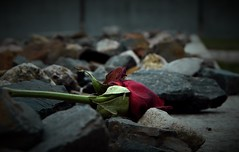 A rose for the victims / Eine Rose fr die Opfer (Caledoniafan (Astrid)) Tags: erschiesungsgraben rose steine stones pebbles kz konzentrationslager concentrationcamp sachsenhausen caledoniafan nikon nikoncoolpixl820 executiontrench