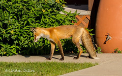 Town fox (Lindell Dillon) Tags: redfox nature wildlife colorado pagosasprings lindelldillon