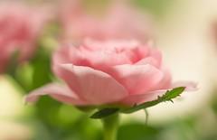 Pretty in Pink (paulapics2) Tags: bokeh rose pink nature fleur flora floral blumen soft gentle canoneos5dmarkiii sigma105mm macro petals