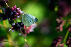 Klein geaderd witje (rafferlin) Tags: reportage natuur macro picardie insecten imago kleingeaderdwitje familiepieridaewitjes frankrijk dagvlinders lacdailette butterfly nature pierisnapi insects