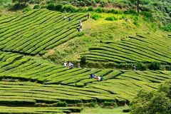 Tea cutting (Chris Haigh) Tags: tea cha gorreana freshestleaves cutting tips saomiguel azores acores teaestate portugal 2016 chrishaigh