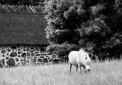 Himmelstorp, Kullen, July 2, 2016 (Ulf Bodin) Tags: scandinavia canoneos5dmarkiii summer sverige scania canonef100400mmf4556lisiiusm kullen ng hst himmelstorp sweden outdoor skne horse meadow animal skneln se