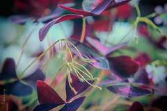 After the flowers (01) (Sergiy G.) Tags: sun rays herba colorful subsurfacescattering sss translucent coloring colouring rubine oxalis macro dof bokeh plant mamiyasekorc80mmf28n closeup metamorphose growth   flower sae astoundingimage