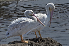 American White Pelican (Pelecanus erythrorhynchus) 7 092216 (evimeyer) Tags: americanwhitepelican pelecanuserythrorhynchos bolsachica wildlifephotography
