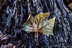 Quando arriva L Autunno (Fabio75Photo) Tags: foglia autunno colori verde green giallo yellow corteccia albero cadere secco