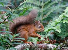 Just squirrels (Steve Balcombe) Tags: mammal red squirrel sciurus vulgaris mortonlochs fife scotland