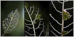 Blattfraspuren (Weinstckle) Tags: blatt wald insekt raupe frasspuren blattgerippe