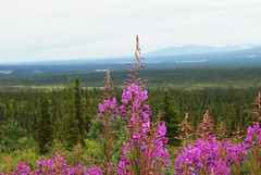 (Linda.RMR) Tags: lighting travel pink trees light summer usa mountain mountains flower color tree travelling green nature colors closeup alaska forest landscape lights colorful bright blossom bokeh adventure journey experience sonyalpha330