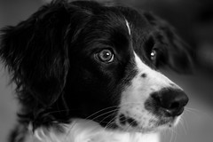 Tipsy (Thomas de Haan) Tags: dog eye eyes friesche stabij