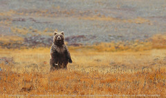 Himalayan Brown Bear (Zahoor-Salmi) Tags: pakistan macro art nature animals trek canon photo tv google nikon flickr shot natural image action wildlife c watch fine pic national bbc punjab geographic wwf salmi brds specanimal discovry bhalwal zahoorsalmi panoramafotogrfico