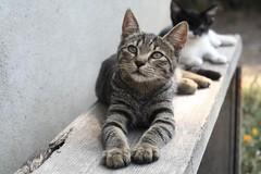 Cat Portrait 2. (Attila Terdik) Tags: portrait cat canon lens 350d 50mm pussy soviet m42 russian industar 502