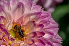 (Charlie Wild) Tags: madrid españa flower macro animal bug garden spain flor jardin bee botanico botanic abeja ltytr1