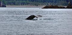 A Lone Tail from a Humpback Whale (thor_mark ) Tags: nature alaska unitedstates tail kenaipeninsula day4 seward kenaifjordsnationalpark project365 kenaifjordstours colorefexpro aialikbay nikond90 northernpacifichumpbackwhale captainschoicecustomcruise