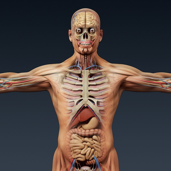 Human Anatomy 3D Model (CGTrader 3D models) Tags  muscles skeleton 3d body  brain 147f2f595