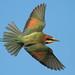 Feliz cumple, Panta. Abejaruco europeo - Merops apiaster - Abelharuco-comum - Guêpier d'Europe - Gruccione europeo - European Bee-eater - Bienenfresser