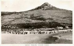 Falkland Islands - Gentoo Penguins (Postcard)