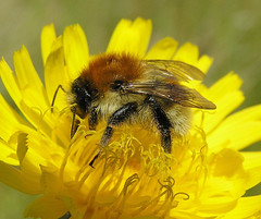 Bombus humilis worker - Hengistbury Head, Dorset 2005b (Steven Falk) Tags: bee steven humilis falk bombus carder apidae brownbanded