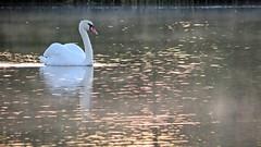Swan in the Morning Mist (Rob Felton) Tags: sky sun mist lake bird sunrise bedford swan ngc bedfordshire waterbird felton muteswan cygnusolor robertfelton bedfordrivervalleypark octagonfarm