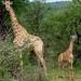 Girafona e girafinha (foto Natascha)