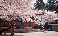 (SILENCE Vincent) Tags: japan  cherryblossom  sakura nara     naraprefecture