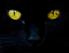 Black cat eyes (Claudio Cantonetti) Tags: iris shadow portrait pet black macro cute eye halloween face look animal yellow closeup mystery night danger cat dark hair mammal nose scary eyes kitten feline glow head witch vet background wildlife fear watch watching lion deep kitty evil nobody spooky domestic angry stare lovely staring panther witchcraft pupil mystic frightening
