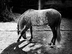 Pizarro (SerrArris) Tags: portrait horse olympus panasonic 20mm ep2 pizarro