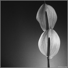 Red Anthurium. Canon 5D + SMC Pentax 1.7/50mm. (Andrey Maltsev) Tags: flowers red bw naturaleza flores flower macro art nature beautiful fleurs 50mm flora handmade blumen mf canon5d manual fiori anthurium smc pentaxm mixedflowers redanthurium manualfocuslens flowersarebeautiful floraandfaunaoftheworld excellentsflowers natureselegantshots exquisiteflowers smcpentaxm1750mm greatshotss macroselsalvador hennysgardens
