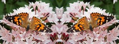 Double Dipping (Exponential Photography) Tags: pink flowers orange butterfly bug insect mirror pattern image pano monarch stitched fauxpanorama