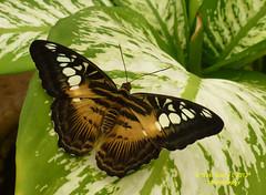 Mariposa Borboleta Butterfly (Pepe (ADM)) Tags: butterfly ngc borboleta mariposa frenteafrente mygearandme nanaturezainnature