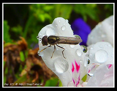 365 Day Photo Project Day 871: Drinking Raindrops (Riquochet) Tags: flowers wildlife insects hoverfly syrphidae hoverflies aposematic xylotasegnis hoverwasp