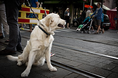 K-5 Retriever (Giu Behringer) Tags: city people dog photography golden photo pentax wide retriever smc vignette k5 lowangle straat da1855mm highqualitydogs highqualityanimals