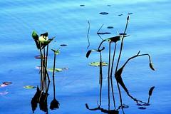 5920 Water lilies (virginiascottphotos) Tags: summer plants water evening lakes waterlilies lakehuron