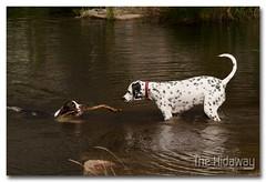 Lending a paw (Simon Bone Photography) Tags: blackandwhite dog girl spots spotty bitch spaniel springer springerspaniel bella dalmatian jemima k9 englishspringerspaniel liverandwhite canoneos30d wwwthehidwaycouk canonef24105mmlf4