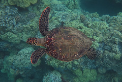 juvenile turtle (bluewavechris) Tags: ocean life blue sea brown green nature water animal coral swim canon hawaii marine underwater snorkel turtle reptile wildlife dive shell maui reef creature juvenile flipper g1x